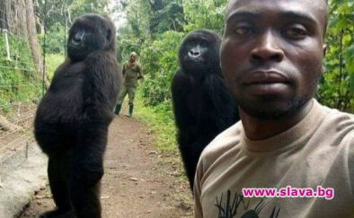 Горили от Конго позират за селфи