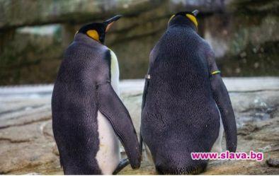 Гей двойка пингвини открадна яйце в холандски зоопарк